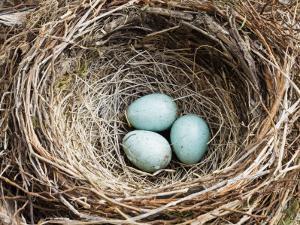 Nest and Eggs of Common Blackbird (Turdus Merula) by Grant Dixon