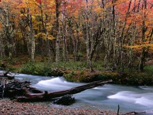 Nothofagus Forest and Stream on Hielo Azul Circuit Walk, Comarca Andina, Lake District by Grant Dixon