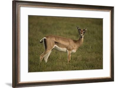 Grant's Gazelle Heart-Shaped Horns-Joe McDonald-Framed Photographic Print
