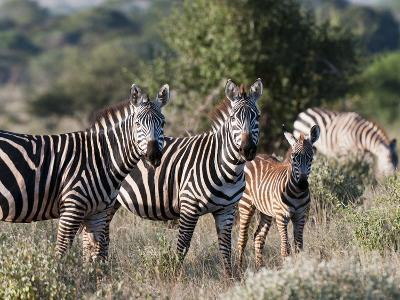 Grant's Zebra (Equus Quagga Boehmi), Lualenyi Game Reserve, Kenya, East Africa, Africa-Sergio Pitamitz-Photographic Print