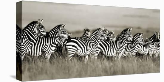 Grant's zebra, Masai Mara, Kenya-Frank Krahmer-Stretched Canvas Print