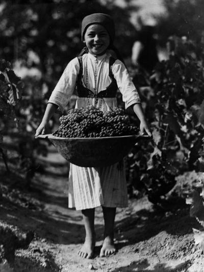 Grape Harvest--Photographic Print