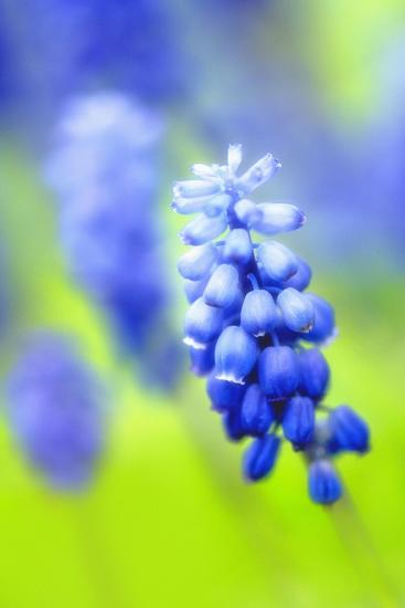 Grape-Hyacinth, Muscari Racemosum, Detail, Blooms, Plant-Herbert Kehrer-Photographic Print
