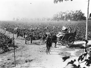 Grape Picking in Provence, C.1900