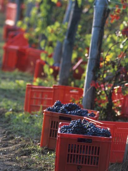 Grape Picking in Renato Ratti Vineyard, Piedmont, Italy-Armin Faber-Photographic Print