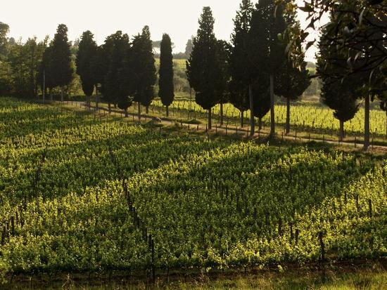 Grape Vines and Cypress Trees in Spring in Tuscany-Herbert Lehmann-Photographic Print