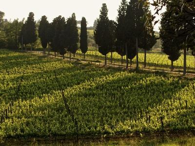 https://imgc.artprintimages.com/img/print/grape-vines-and-cypress-trees-in-spring-in-tuscany_u-l-q10scry0.jpg?p=0