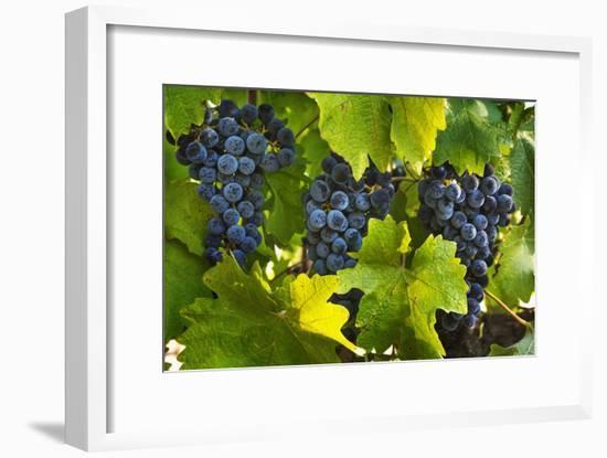 Grapes Growing in Napa Valley-Jon Hicks-Framed Photographic Print