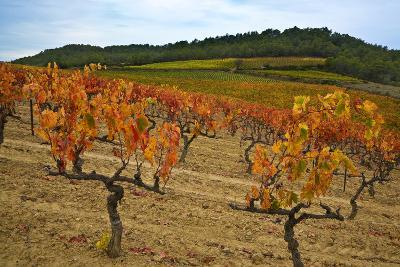 Grapes in a Vineyard Ready for Harvesting, Near Lagrasse, Languedoc-Roussillon, France--Photographic Print