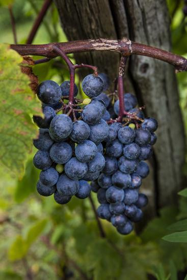Grapes on the Vine at Winery Near Ludington, Michigan, Usa-Chuck Haney-Photographic Print