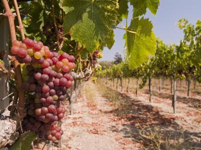 Grapes on the Vine in Monterey County-Richard Nowitz-Photographic Print