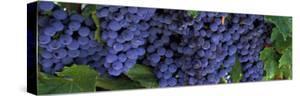 Grapes on the Vine, Napa, California, USA