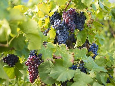 Grapes on Vines, Languedoc Roussillon, France, Europe--Photographic Print