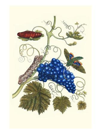Grapevine with Gaudy Spinx Moth-Maria Sibylla Merian-Premium Giclee Print