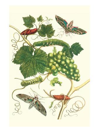 Grapevine with Vine Sphinx-Maria Sibylla Merian-Premium Giclee Print