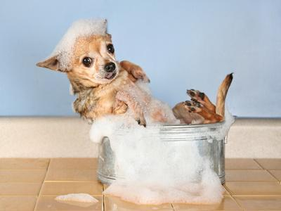 A Chihuahua Taking A Bath