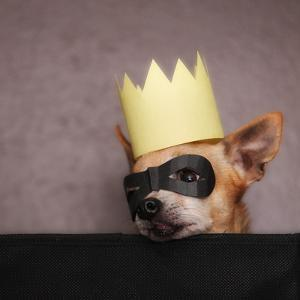 A Cute Chihuahua With A Crown And Mask On by graphicphoto