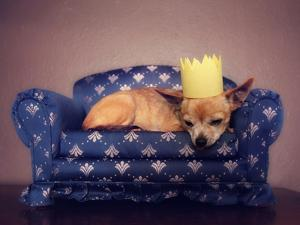 A Cute Chihuahua With A Crown On Napping On A Couch by graphicphoto
