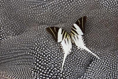 Graphium Butterfly on Helmeted Guineafowl-Darrell Gulin-Photographic Print