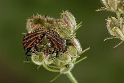 Graphosoma Lineatum (Striped Shield Bug ) - Mating-Paul Starosta-Photographic Print