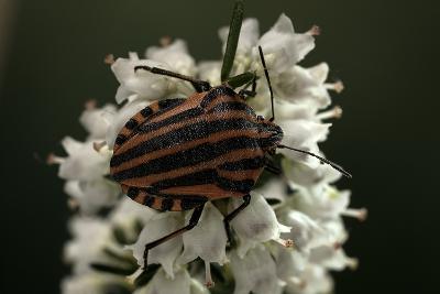 Graphosoma Lineatum (Striped Shield Bug )-Paul Starosta-Photographic Print