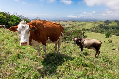 Grass Fed Cattle, Costa Rica-Susan Degginger-Photographic Print