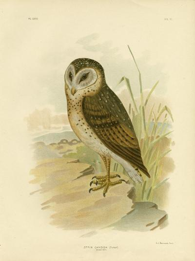 Grass Owl, 1891-Gracius Broinowski-Giclee Print