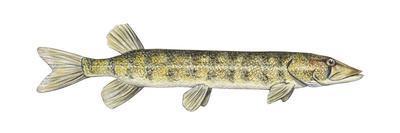 https://imgc.artprintimages.com/img/print/grass-pickerel-esox-americanus-vermiculatus-fishes_u-l-q135i0r0.jpg?p=0
