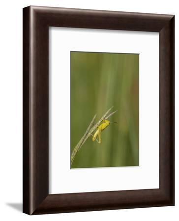 Grasshopper on Big Bluestem (Andropogon gerardi) grass seed head, Marion County, Illinois-Richard & Susan Day-Framed Photographic Print