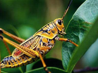 Grasshopper, U.S.A.-Greg Johnston-Photographic Print