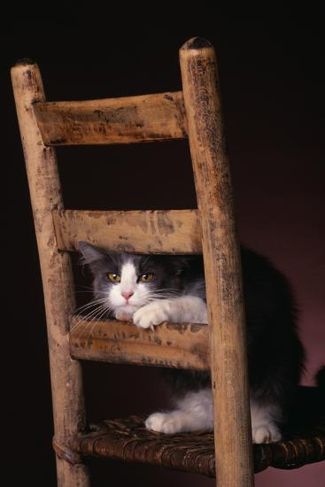 Gray and White Cat Looking through Wood Chair-DLILLC-Photographic Print