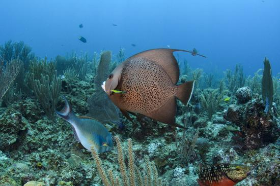 Gray Angelfish, Hol Chan Marine Reserve, Belize-Pete Oxford-Photographic Print
