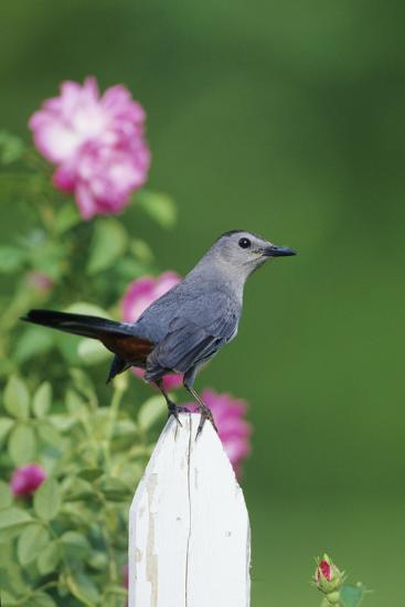 Gray Catbird on Picket Fence Near Pink Rose Bush, Marion, Il-Richard and Susan Day-Photographic Print