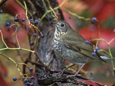 Gray-Cheeked Thrush in Virginia Creeper in the Fall (Catharus Minimus). Eastern USA-Steve Maslowski-Photographic Print