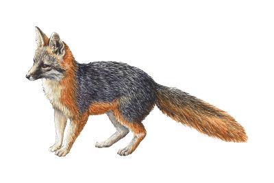 Gray Fox (Urocyon Cinereoargenteus), Mammals-Encyclopaedia Britannica-Art Print