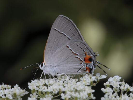 Gray Hairstreak Butterfly Sipping Queen Anne's Lace Nectar-George Grall-Photographic Print