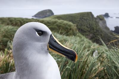 Gray-Headed Albatross on Diego Ramirez Islands, Chile-Paul Souders-Photographic Print