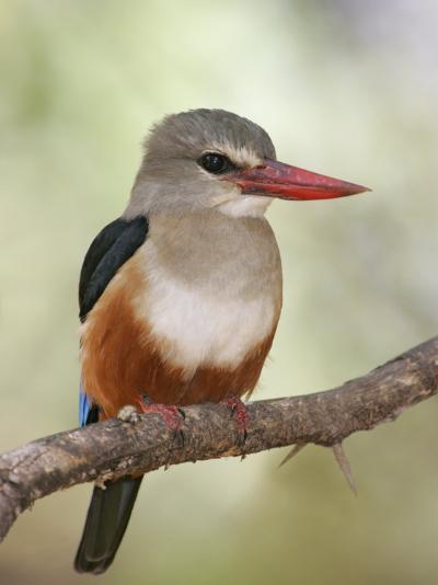 Gray-Headed Kingfisher, Halcyon Leucocephala, Kenya, Africa-Arthur Morris-Photographic Print