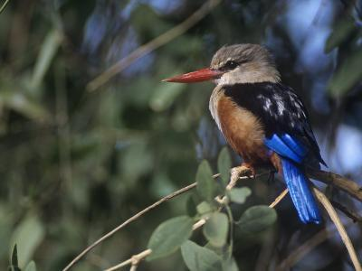 Gray-Headed Kingfisher, Halcyon Leucocephala, Samburu Game Reserve, Kenya, Africa-Joe McDonald-Photographic Print