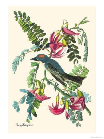 https://imgc.artprintimages.com/img/print/gray-kingbird_u-l-p27ddl0.jpg?artPerspective=n