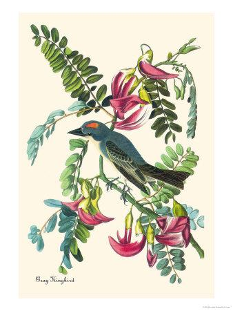 https://imgc.artprintimages.com/img/print/gray-kingbird_u-l-p27ddl0.jpg?p=0