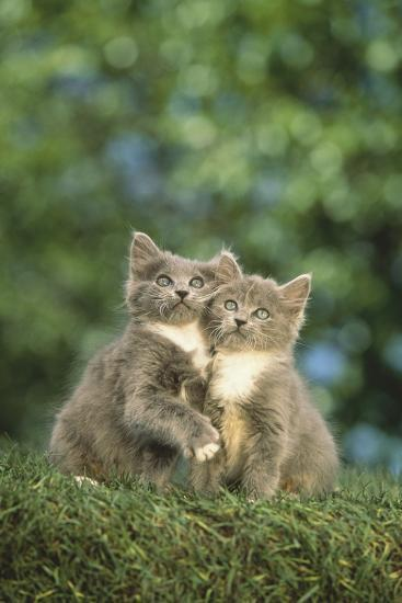 Gray Kittens-DLILLC-Photographic Print