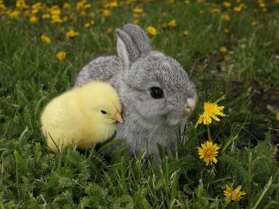 Gray Rabbit Bunny Baby and Yellow Chick Best Friends-Richard Peterson-Photographic Print