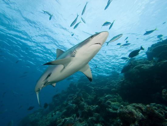 Gray Reef Shark (Carcharhinus Amblyrhynchos), Fiji, Note the Remoras on its Body-David Fleetham-Photographic Print