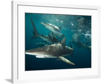 Gray Reef Sharks Swimming Through the Water-Mauricio Handler-Framed Photographic Print