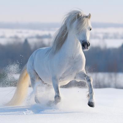 Gray Welsh Pony Galloping on Snow Hill-Abramova Kseniya-Photographic Print