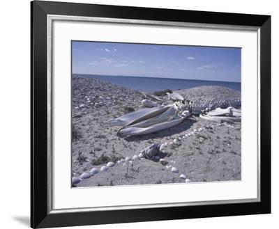 Gray Whale Bones and Shell-Covered Beach, Baja, San Ignacio Bay, Mexico-Cindy Miller Hopkins-Framed Photographic Print