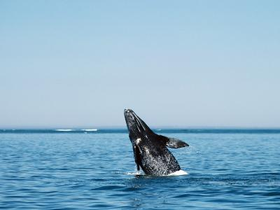 Gray Whale Calf, Eschrichtius Robustus, San Ignacio Lagoon, Baja California Sur,-Jeff Foott-Photographic Print