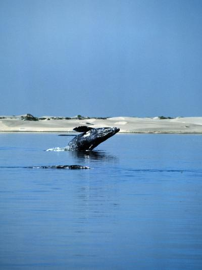 Gray Whale, Eschrichtius Robustus, Breeching, Magdalena Bay-Jeff Foott-Photographic Print