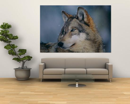Gray Wolf at the International Wolf Center-Joel Sartore-Wall Mural